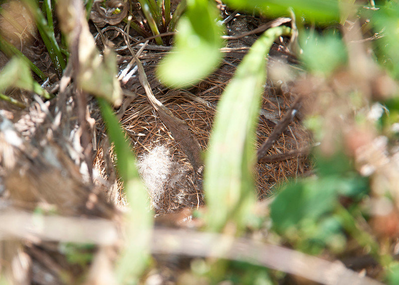 Lark Sparrow nest on the ground