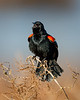 Singing Redwinged Blackbird