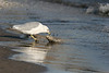 Ring Billed Gull Eating Dead Fish - Crane Creek - September 2005 - Not all nature photos are great looking!