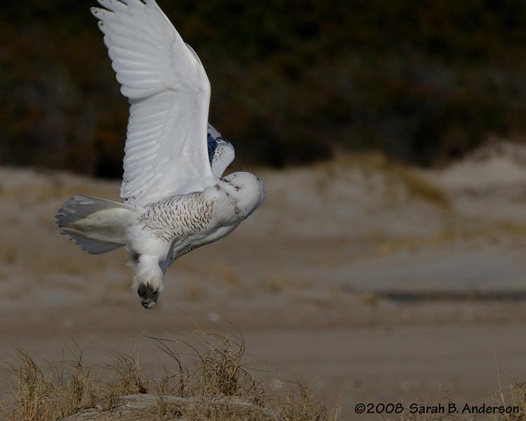 Snowy Owl takeoff<br /> Assateague Island National Seashore, Maryland<br /> December 2008
