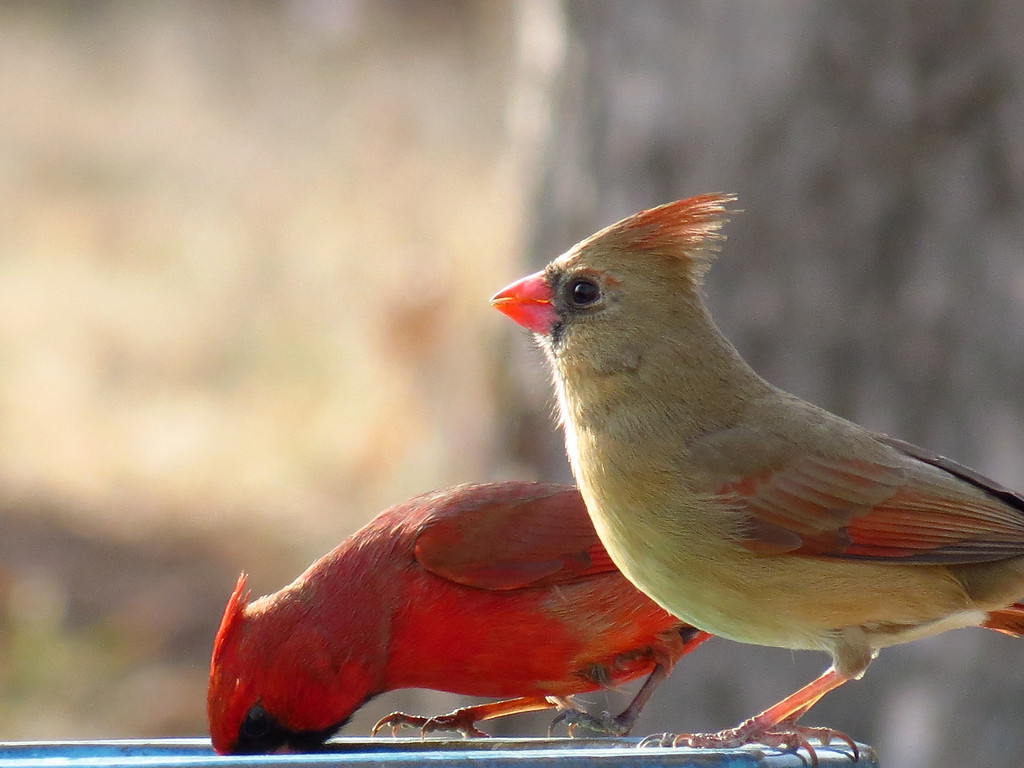 Cardinals at one of the birdbaths.