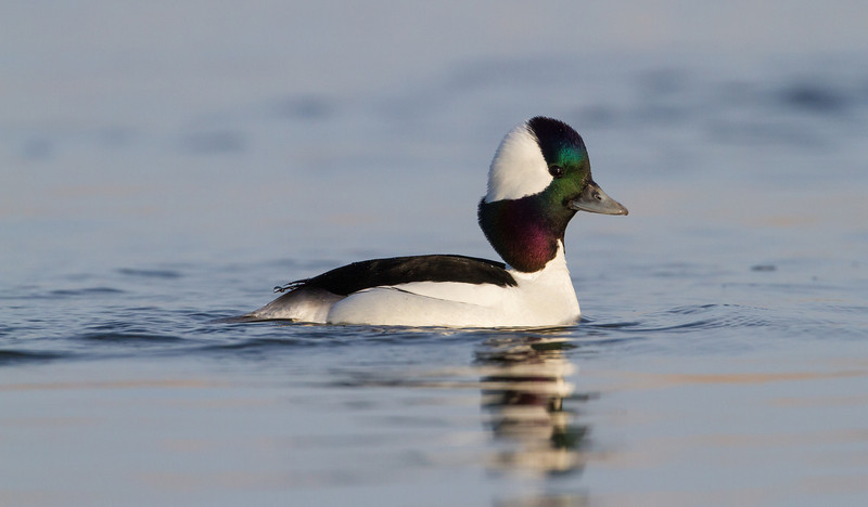 Bufflehead - March 2013 - Lucas County, Ohio
