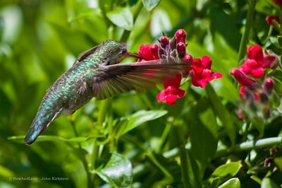anna's hummingbird, Oakland