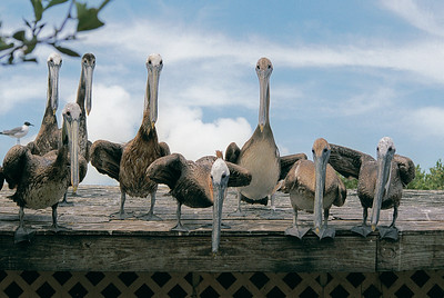 Rescued pelicans in Florida at a sanctuary.