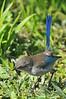 Splendid Fairy Wren - Australia