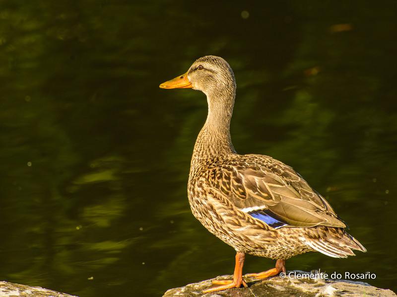 File Ref  2013-08-29-Mallard Duck -1.NEF