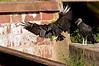 Black vulture landing near Seneca Aqueduct.