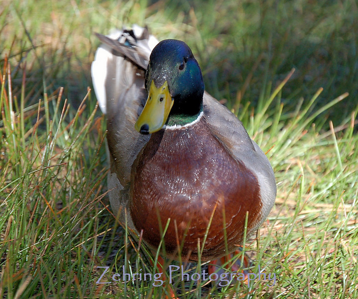 Male mallard combing the grass areas just offshore of a small lake.