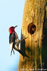 Red-headed Woodpecker & baby (just fed)<br /> <br /> Hughes Hollow, Montgomery County, Maryland<br /> July 2009