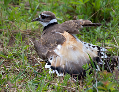 Killdeer and EggsEMW_9214