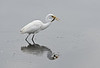 Great Egret with Fish, Merritt Island National Wildlife Refuge, Florida