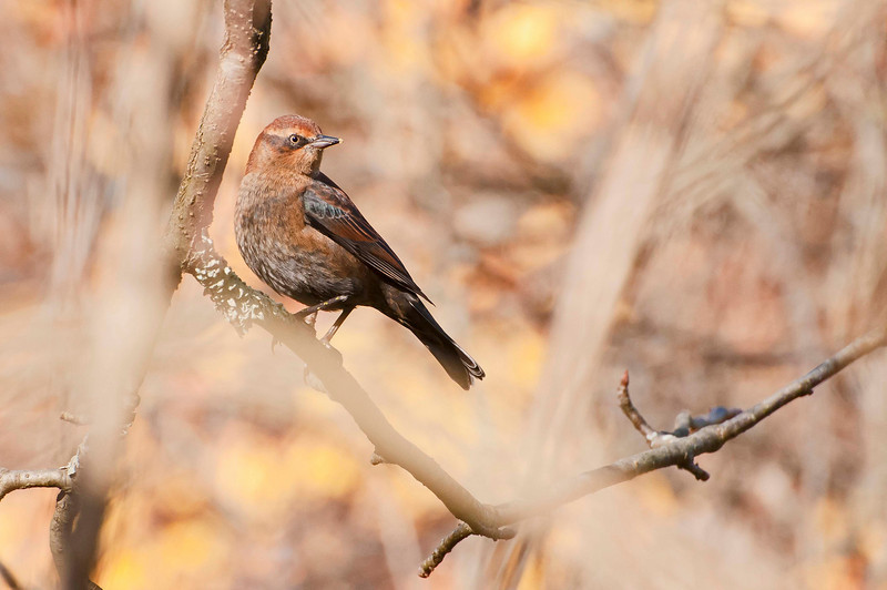 Rusty Blackbird, Beaver Marsh, 10/20/10.