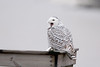Snowy Owl - Point Place, OH - December 2007