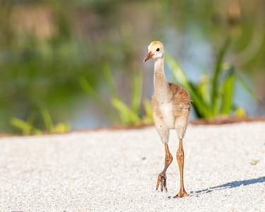 Sandhill crane colt
