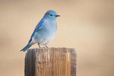 Bluebird 2260