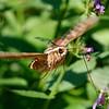 Hummingbird Moth 3