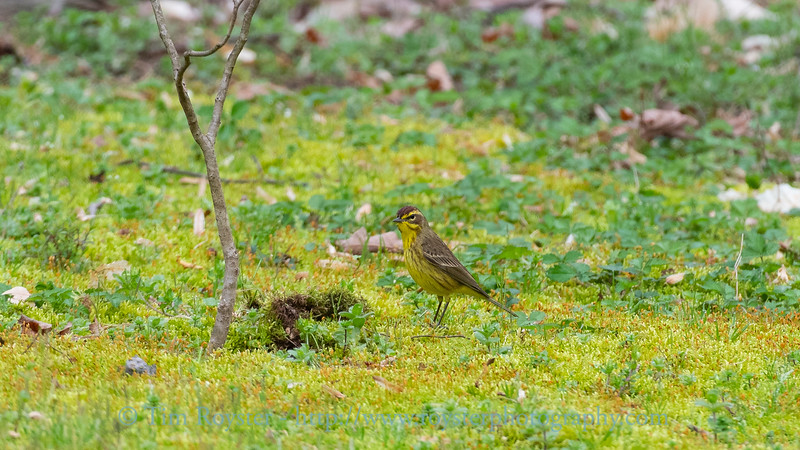 Palm warbler in the moss