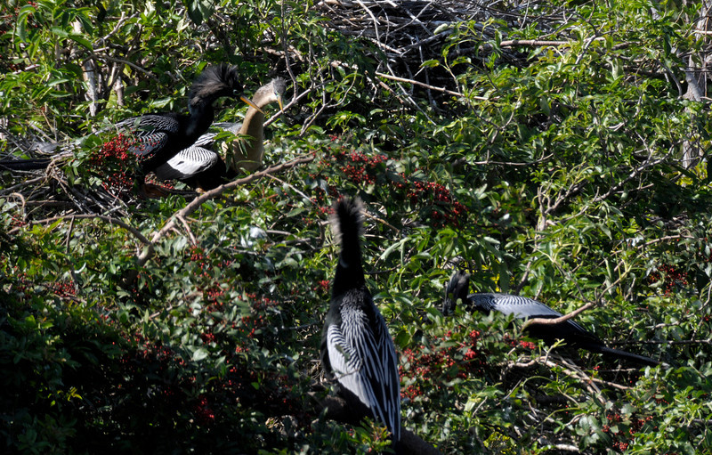 Anhinga couple (upper left - male with black head) looking down on two males - Venice Rookery