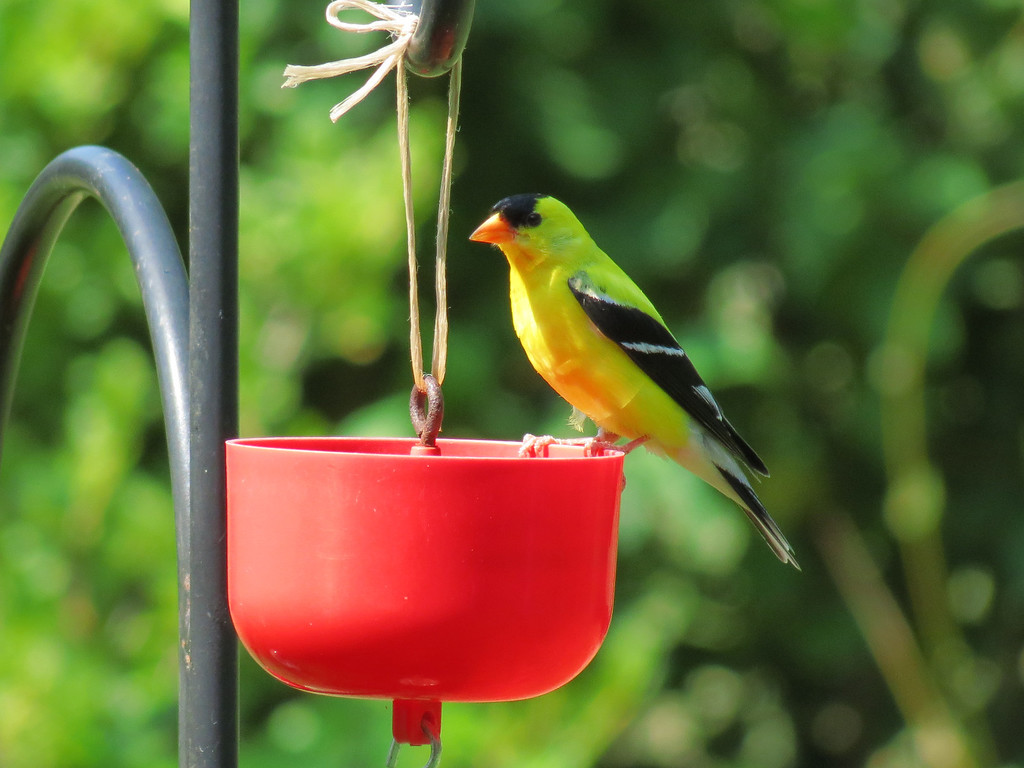Yellow Finch<br /> The Finches and the Chickadees prefer to drink from these ant guards<br /> so we keep the cups filled with fresh water.