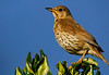 New Zealand Thrush - Otago Peninsula, New Zealand