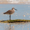 Willet on a Coquina Rock