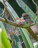 Song Sparrow absorbing some early Spring sunshine. (Melospiza melodia)