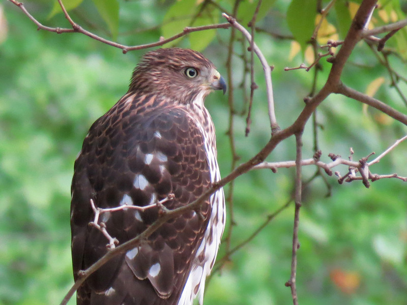 A large Hawk in the backyard this evening.<br /> Handheld and shot at 1/30 of a second.