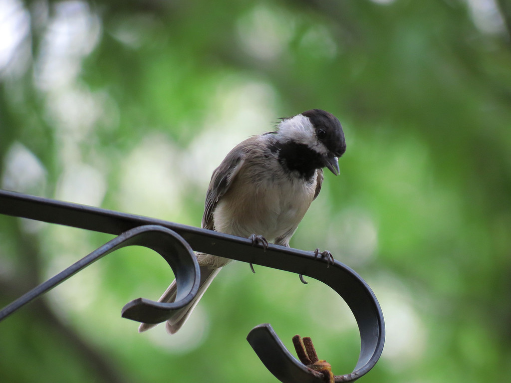 Chickadee enjoying the brief respite we have been given<br /> from the 100 degree heat -- it was cloudy all day and even though it did not<br /> rain, we were spared the relentless searing heat of the sun.