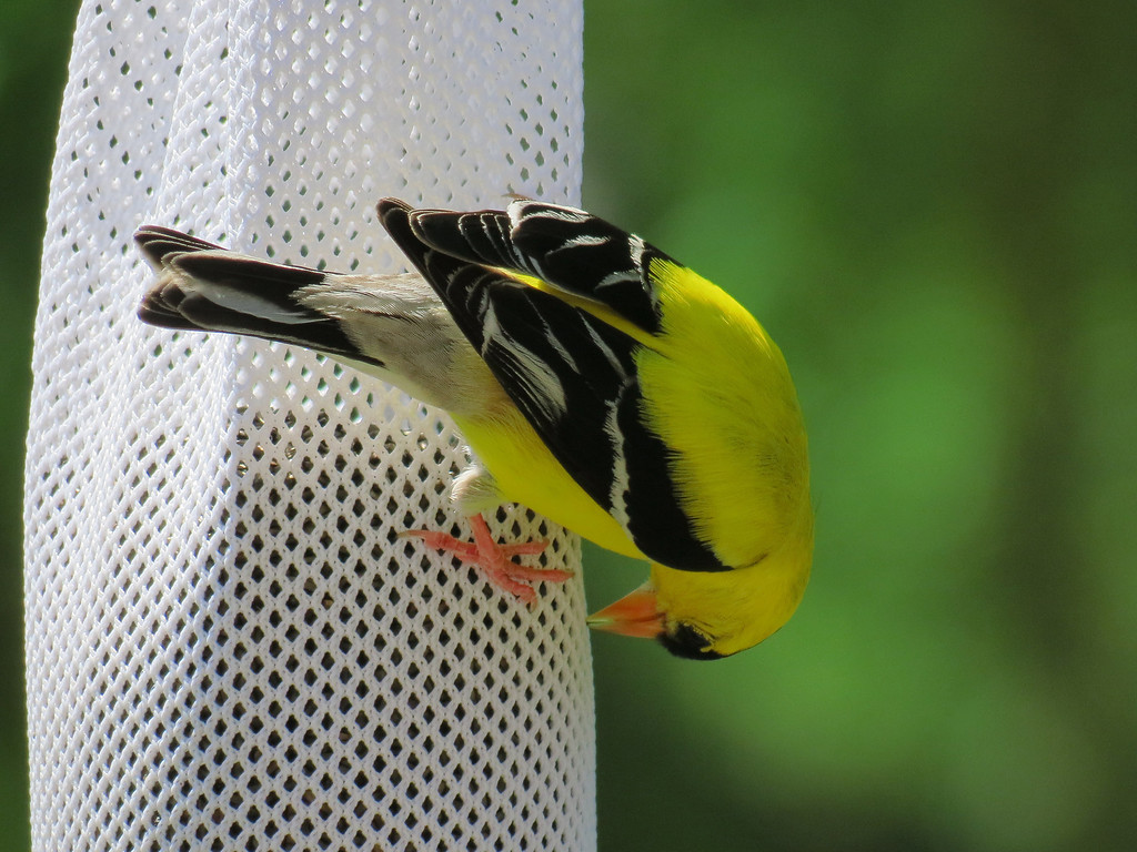 Yellow Finch eating niger seed from a sock feeder.