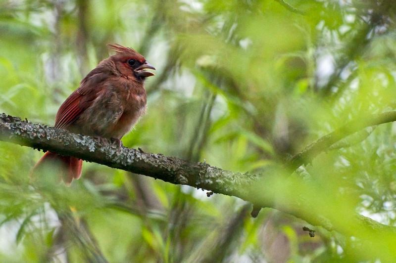 Cardinal, near Beaver Marsh, 6/16/2010.