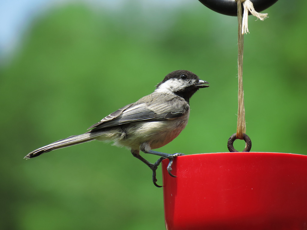 A Chickadee drinking from the ant guard of a hummingbird feeder.
