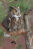 Great Horned Owl - January 2013