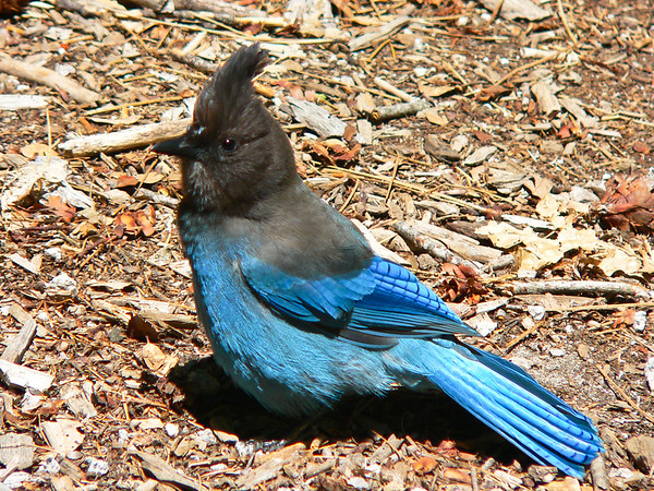 Blue Jay in Yosemite