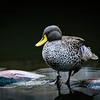 'Beauty in a Duck'