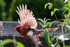 Juvenile cardinal in flight<br /> Cardinalis cardinalis