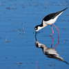 Black-necked Stilt, Malheur National Wildlife Refuge, Oregon