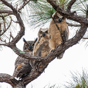 Great horned owl with her two owlets