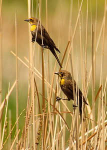 Yellow-headed Blackbirds, females