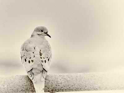 Morning Dove, High Key
