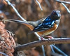 'Spotted Towhee