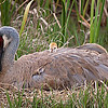 Sandhill Crane At Rainbow