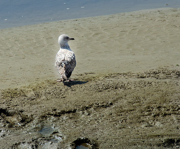Seagull in the mud