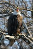 Bald Eagle full yawwwwn<br /> Potomac River<br /> Fairfax County, Virginia<br /> February 2009