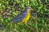 Meadowlark at Sacramento NWR 1-2015 #1