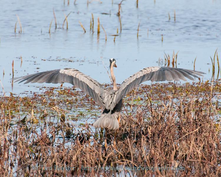 Great blue heron near the Ohio River at Henderson, Kentucky