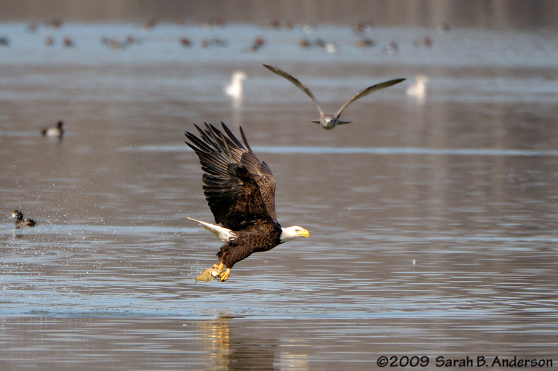 Bald Eagle has fish<br /> Gull has envy<br /> Potomac River<br /> Fairfax County, Virginia<br /> February 2009