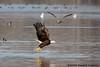 Bald Eagle has fish<br /> Gull has envy<br /> Potomac River<br /> Fairfax County, Virginia<br /> February 2009