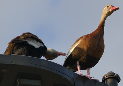 P179DendrocygnaAutumnalis194 Mar. 21, 2019 8:15 a.m. P1790194 This pair of Whistling Ducks, Dendrocygna autumnalis, were hanging around the parking lot at LBJ WC, mostly on this light fixture near a hole they failed to raise chicks in last year (if the are the same pair or partly so). Anatid.