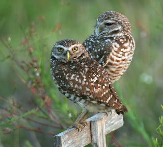 Burrowing Owls - Cape Coral