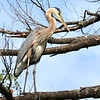 Hanging Out in the Trees  Great Blue Heron